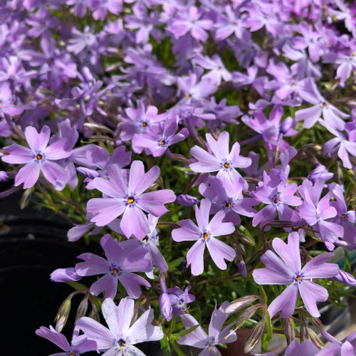 Phlox subulata 'Emerald Cushion Blue' - Moss Phlox (Creeping Phlox) - spring perennial forming dense carpets