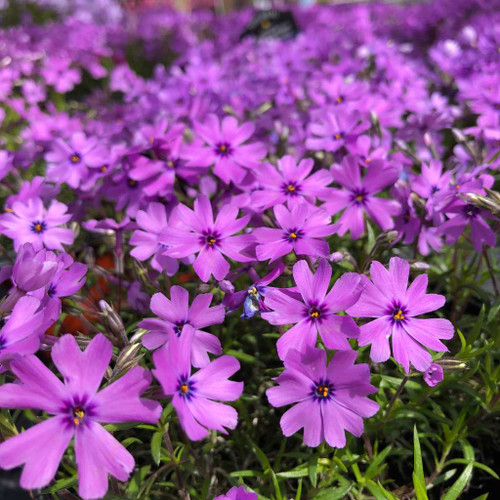 Phlox subulata 'Purple Beauty' - Moss Phlox (Creeping Phlox) 'Purple Beauty' - spring mat-forming perennial for rock garden, edges and lining the paths or driveways