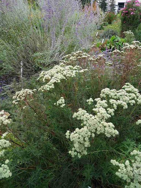 Narrow-Leaf Mountain Mint - Pycnanthemum tenuifolium -  drought and deer tolerant wildflower