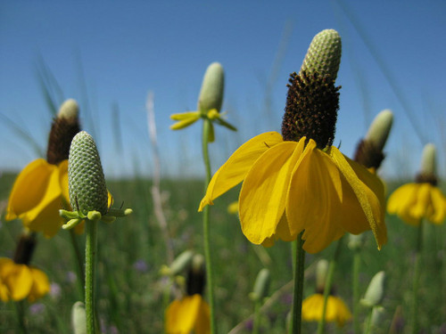 Ratibida columnifera - Mexican Hat - Upright Prairie Coneflower - beautiful native perennial and great butterfly plant for prairie or naturalized planting