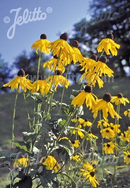 Rudbeckia grandiflora 'Sundance' - Rough Coneflower 'Sundance' - selection of native perennial, still very good bird and butterfly plant that is deer tolerant