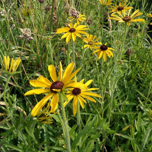 Missouri Coneflower - Rudbeckia missouriensis - underused native perennial, shorter, very drought and heat tolerant plant attractive to pollinators
