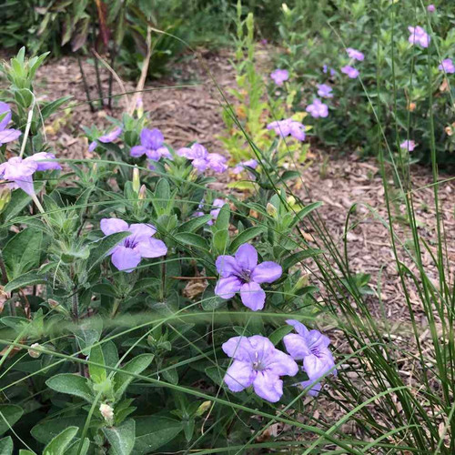 Wild Petunia - Ruellia humilis - drought tolerant and easy to grow wildflower that attracts butterflies