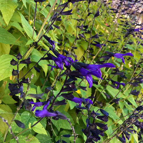 Salvia guaranitica 'Black and Blue'  - Sage 'Black ad Blue' - great hummingbird plant, hardy perennial down to zone 6 with some winter protection or sheltered position