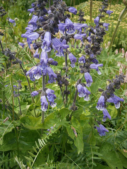 Salvia hians - Kashmir Sage - favorite hummingbird and butterfly short-lived perennial, that will self seed in you garden