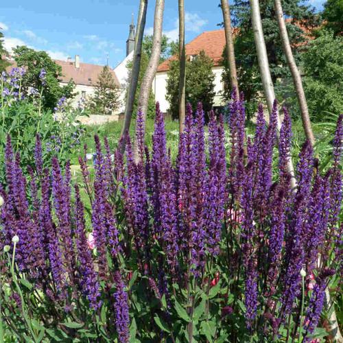 Meadow Sage 'Caradonna' - Salvia nemorosa 'Caradonna' - long flowering perennial for sunny border