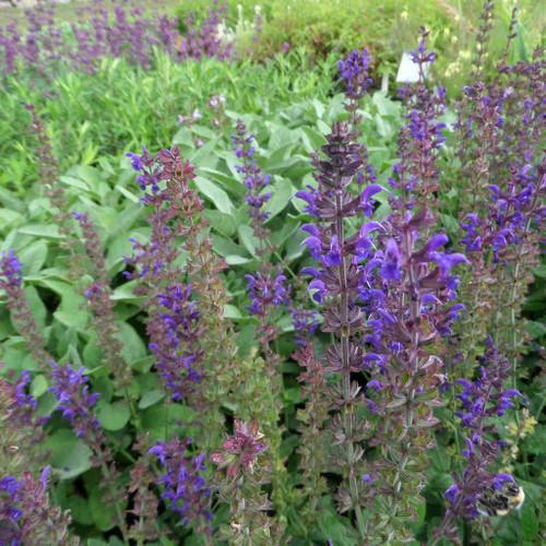 Salvia nemorosa 'Mainacht' ('May Night') - Meadow Sage 'Mainacht' - all summer flowering perennial