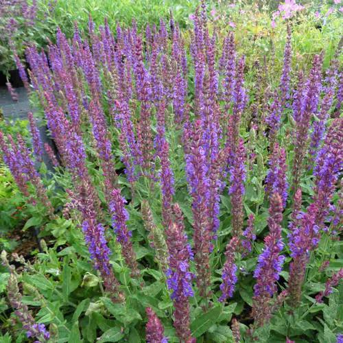 Salvia nemorosa 'Ostfriesland' ('East Friesland') - Sage 'Ostfriesland' ('East Friesland') - long flowering perennial for sunny garden