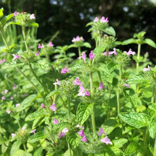 Clinopodium vulgare - Wild Basil (Satureja vulgaris) - drought tolerant perennials