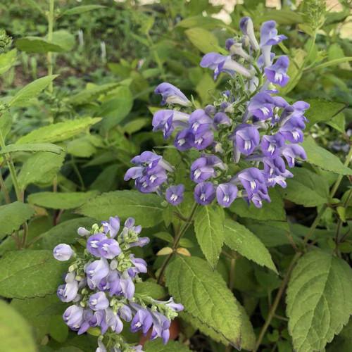 Downy Scullcap - Scutellaria incana - native perennial for deer resistant planting