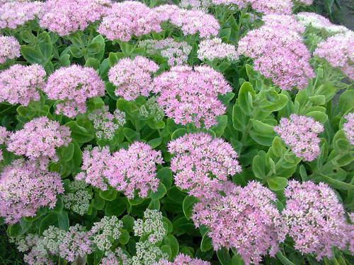 Sedum telephium cv. neon pink - Stonecrop - border perennial for beginners