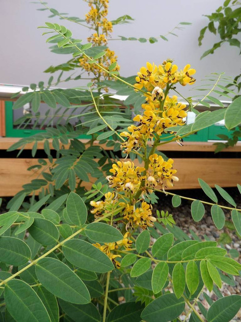 Wild Senna - Senna hebecarpa - native perennial for bumblebees and other useful insect