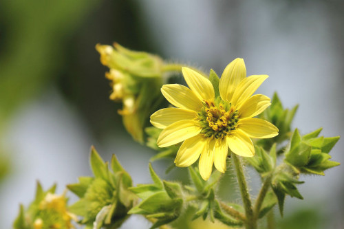 Silphium mohrii - Mohr's Rosinweed - architectural native perennial for perennial border or naturalized planting