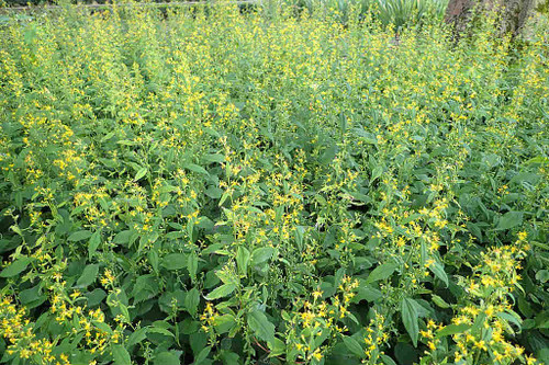 Solidago flexicaulis - Zig Zag Goldenrod - this native plant for shade and woodland gardens is deer and clay tolerant