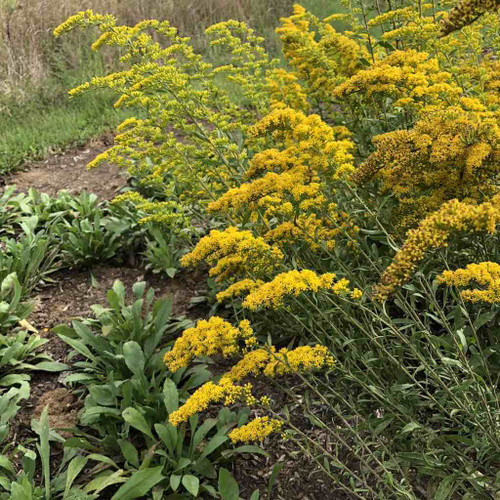 Gray Goldenrod (Old Field Goldenrod) - Solidago nemoralis - useful perennial that can thrive in places where not many plants can grow (poor, shallow and dry soils)