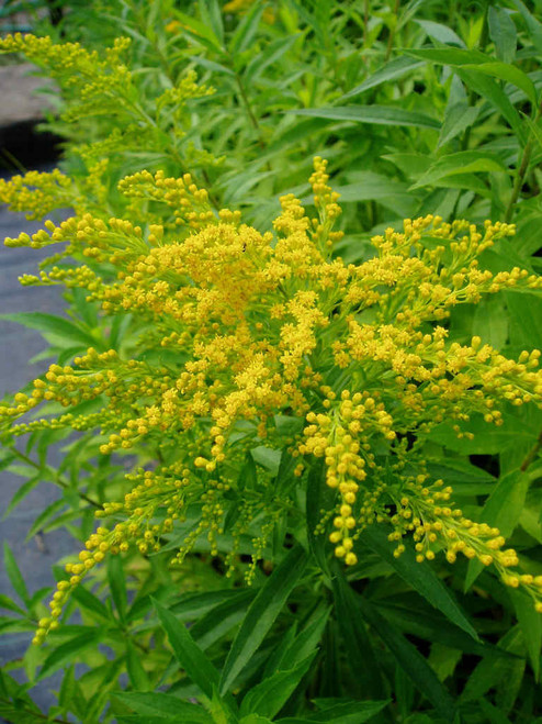 Solidago 'Peter Pan' - Goldenrod 'Peter Pan' - late summer perennial and good pollinator and butterfly plant
