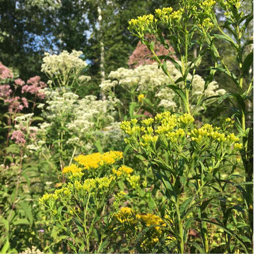 Solidago ridellii - Riddell's Goldenrod - deer and clay resistant native perennial