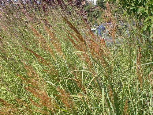 Sorghastrum nutans 'Indian Steel' - Indiangrass 'Indian Steel' -  native grass for naturalization, prairie planting or erosion control