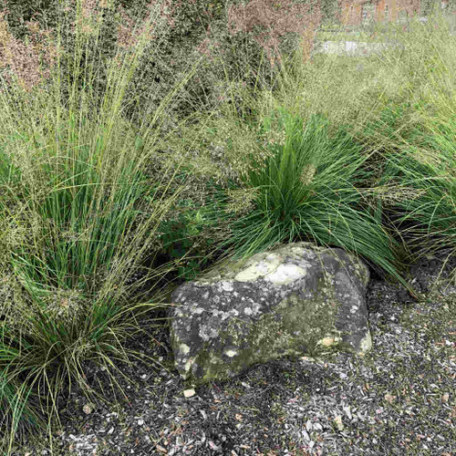 Prairie Dropseed - Sporobolus heterolepis - native perennial grass for public and private gardens