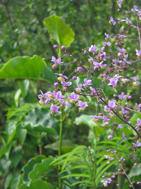 Lavender Mist Meadow Rue - Thalictrum rochenbrunianum - charming perennial for half shade garden