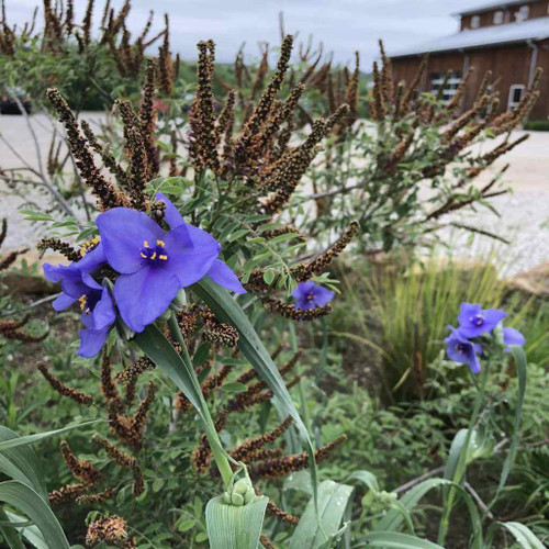 Ohio Spiderwort - Tradescantia ohiensis - long blooming perennial and native wildflower