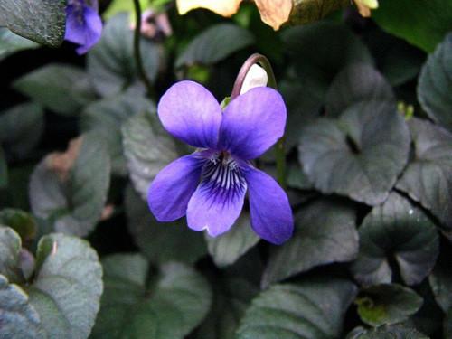 Viola labradorica 'Purpurea' - LABRADOR VIOLET 'PURPUREA'