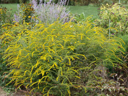 Solidago rugosa 'Fireworks' - Rough Goldenrod - beautiful perennial for tough Midwest conditions ©F.D. Richards