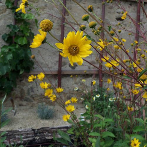 Western Sunflower - Helianthus occidentalis - native perennial that feeds birds and butterflies