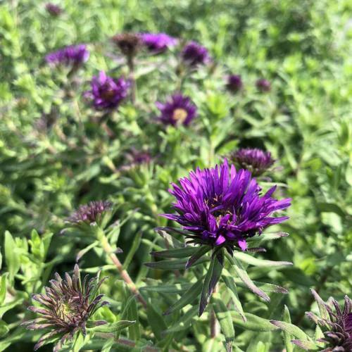 Aster novae-angliae 'Purple Dome' - great compact border perennial