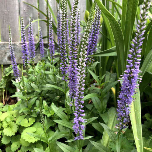 Veronica 'Blue Skywalker' - bee friendly, butterfly perennial and low maintenance plant
