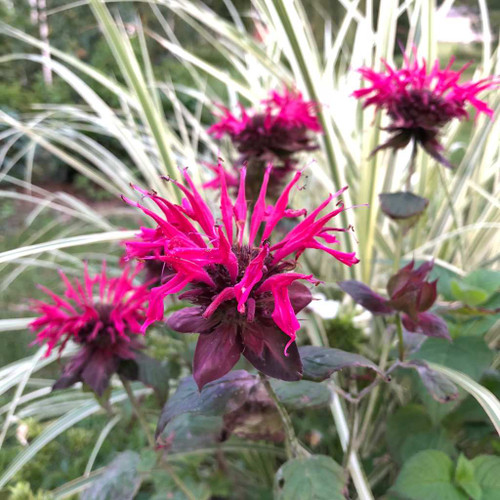 Monarda 'Raspberry Wine' - Bee Balm 'Raspberry Wine' - one of  Mt. Cuba's highly recommended cultivars of monarda