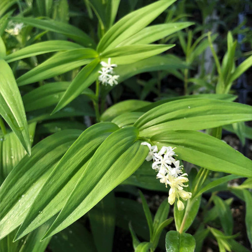 Starry False Solomon's Seal - Maianthemum stellatum (Smilacina) - perennial for woodland garden with hostas and ferns
