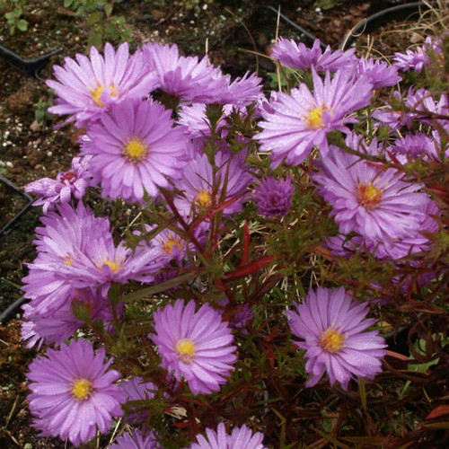Aster novi-belgii 'Autumn Rose' - Michael's Aster 'Autumn Rose' - late summer and early fall perennial
