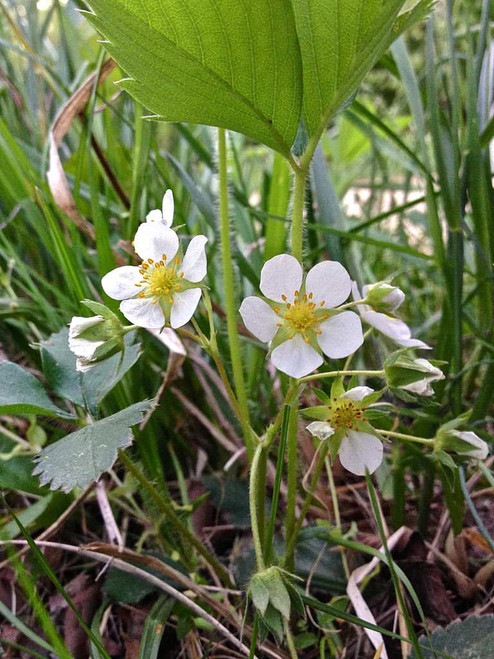 Virginia Strawberry - Fragaria virginiana -  native wildflower and perennial with edible fruits