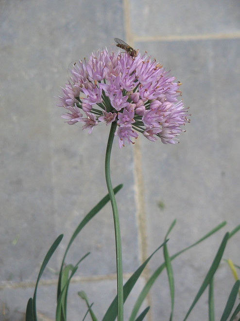 Allium stellatum - Prairie onion - showy and modest plant for drier soil, pollinator's favorite