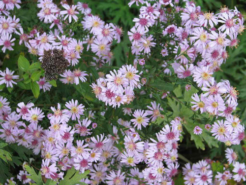 Aster x hybrid 'Coombe Fishacre' - fall perennial with smaller flowers, bee and butterfly friendly ©peganum