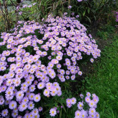 Aster novi-belgii 'Isis' - pink flowering fall perennial for sunny border
