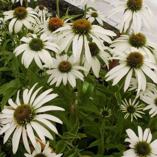 Coneflower 'Alba' is white flowering selection of this popular perennial