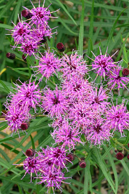 Narrow-leaf Ironweed 'Plum Peachy' - perennial with ornamental and colorful leaves and large clusters of purple flowers. Picture copyright : Chicago Botanical Garden