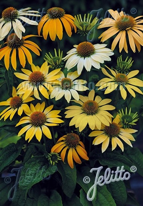 Echinacea purpurea hybrids 'Mellow Yellows' - easy to grow perennial and great cut flower. Picture copyright Jelitto