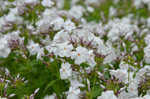 Phlox 'Minnie Pearl' - early flowering, medium sized perennial, that is disease free
