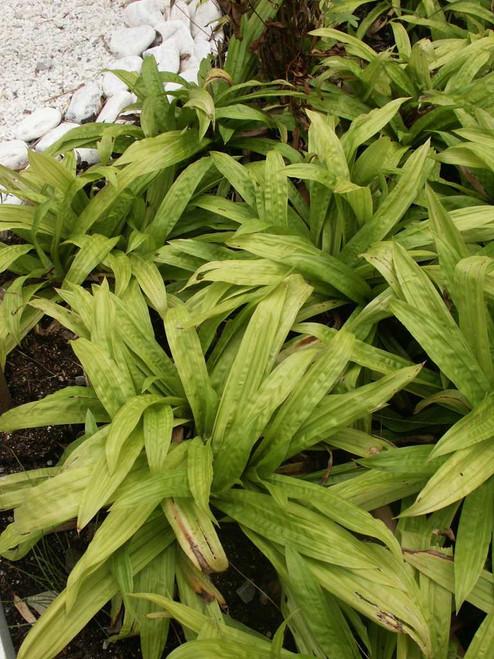 Seersucker Sedge - Carex plantaginea - charming ground covering ornamental grass for shade garden