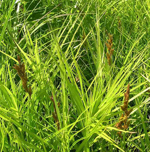 Palm Sedge - Carex muskingumensis - highly ornamental non-spreading native grass (sedge)