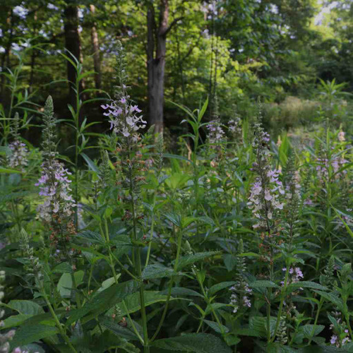 American Germander - Teucrium canadense - wild perennial for natural areas, wet ditches or meadows and water bodies banks