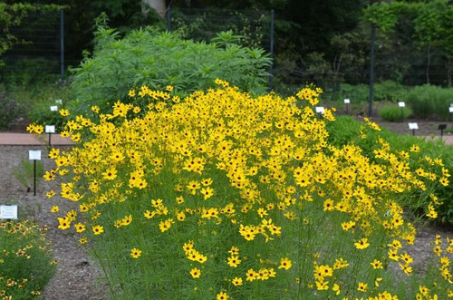 Coreopsis 'Gilded Lace' - perennial with incredible floral display for 18 weeks. Copyright: Mt. Cuba