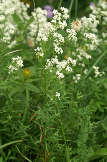 Galium boreale - native wildflower to most states in USA and quite showy perennial for woodland garden