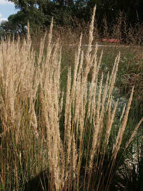 Calamagrostis 'Karl Foerster' with amazing vertical structure looks well with other grasses, Echinacea, Rudbeckia or Coreopsis