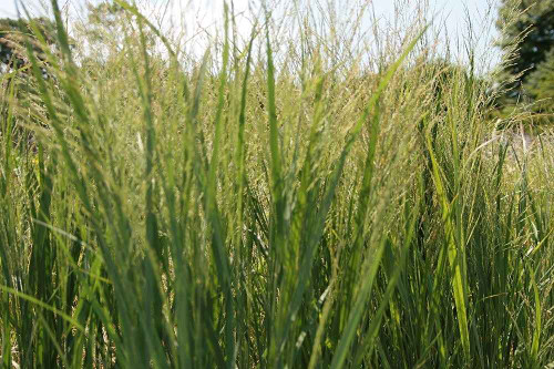 Switchgarss 'Northwind' - great narrow and strictly upright cultivar of native prairie grass