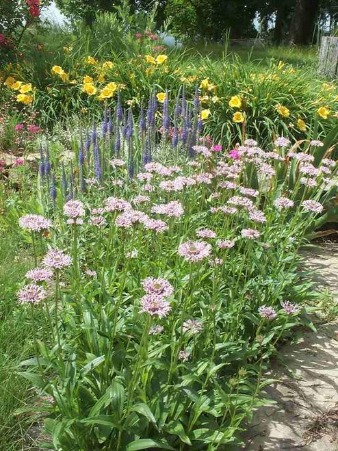 Marschallia grandiflora - Barbara's Button - interesting perennial and wildflower