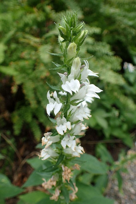 White flowering form of Lobelia siphilitica - great garden perennial for sunny or half shade bed, with average soil and moisture